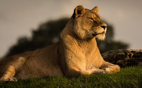 Picture grass, look, face, cats, pose, background, portrait, Leo, paws, beauty, lies, wild cats, lioness, proud, ...