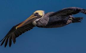 Picture flight, bird, wings, beak, Pelican