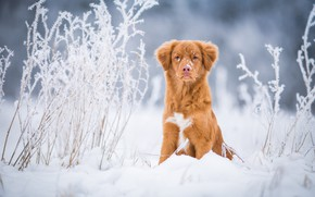 Picture winter, frost, field, grass, look, snow, nature, background, blue, dog, light, red, the snow, puppy, …