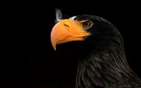 Picture beak, hawk, eagle