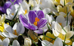 Picture macro, joy, flowers, nature, tenderness, beauty, plants, spring, crocuses, primroses, the color purple, many, cottage, …