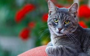 Picture Cat, Cat, Bokeh
