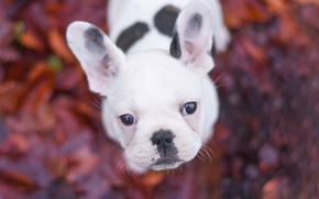 Picture look, dog, puppy, face, bokeh, French bulldog
