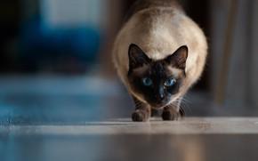 Picture cat, look, blue eyes, bokeh, Siamese cat
