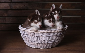 Picture Puppies, Husky, Cuties