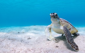 Picture sea, water, background, blue, turtle, the bottom, underwater world, sea turtle