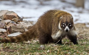 Picture tail, raccoon, the common coati