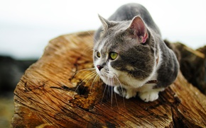 Picture cat, cat, look, grey, stump, white background, log, sitting, fat face, well padded