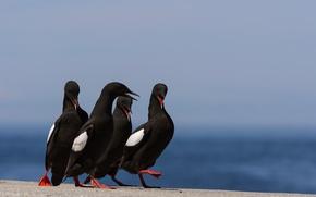 Picture nature, bird, beak, common Guillemot