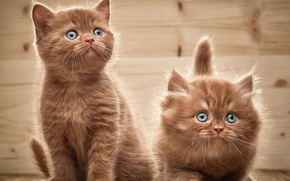 Picture look, kittens, two, British, Browne