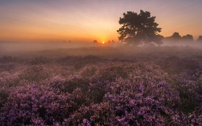 Picture field, the sky, the sun, landscape, flowers, nature, fog, tree, dawn, glade, morning, Heather