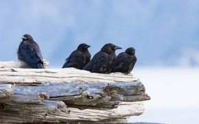 Picture birds, pack, Raven
