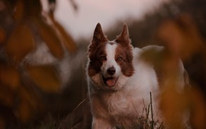 Picture look, dog, bokeh, The border collie