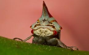 Picture eyes, macro, insect, horn, oak treehopper, gorbatka