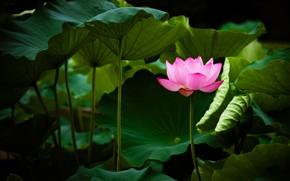 Wallpaper pink, leaves, Lotus