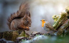 Wallpaper nature, background, bird, stump, walnut, protein, friendship, bird, friends, squirrel, rodent, communication, Robin