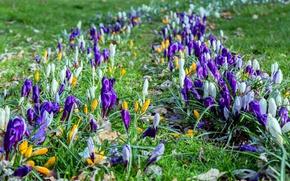 Picture grass, spring, crocuses, spring, Crocuses