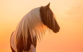 Wallpaper mane, horse, color, light, piebald, face, profile, the sun, horse, sunset