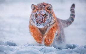 Picture winter, snow, tiger, tiger, young tiger