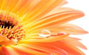 Wallpaper gerbera, colorful, drop, water, gerbera, flowers