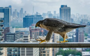 Picture the city, bird, home, predator, beak, Chicago, peregrine