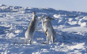 Wallpaper a couple, rabbits, Hare, okay, winter, snow