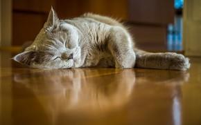 Picture British Shorthair, reflection, sleep