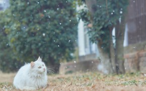 Picture cat, white, snow