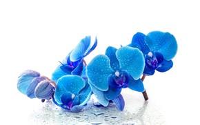 Picture drops, flowers, blue, Orchid