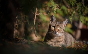 Picture cat, cat, look, branches, bokeh