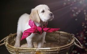 Picture basket, dog, puppy, solitaire, Golden Retriever, Golden Retriever