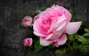 Picture flowers, rose, beauty is in simplicity, author's photo by Elena Anikina, pink rose