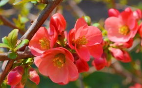 Wallpaper Flowering, Spring, Flowering, Spring, macro, branch, quince