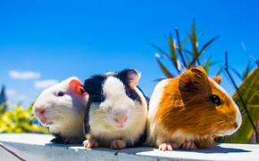 Picture three, family, Guinea pigs