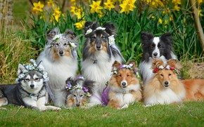 Picture flowers, dogs, The border collie, daffodils, Sheltie, Shetland Sheepdog, wreaths, friendly company, Alaskan Klee Kai