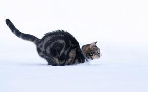 Picture cat, snow, jump