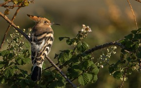 Picture branches, bird, Hoopoe