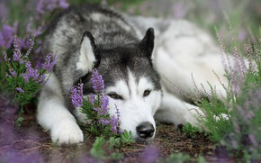 Wallpaper dog, Heather, Siberian Husky