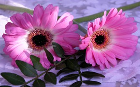 Picture flowers, pink, leaves, gerbera