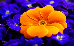 Picture macro, orange, primrose, Primula
