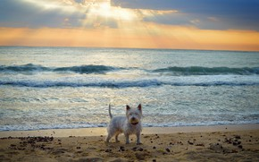 Wallpaper The West highland white Terrier, Dog, Sea, Sea, Dog