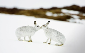 Wallpaper winter, Scotland, rabbits, hare white, snow