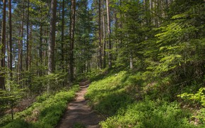 Picture forest, summer, trees, path