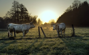 Picture the fence, morning, cattle