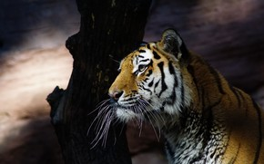 Picture cat, look, face, light, nature, tiger, the dark background, tree, portrait, shadow, trunk, wild cats, …