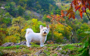 Picture Nature, Dog, Nature, Dog, The West highland white Terrier