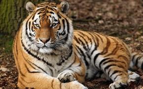 Picture tiger, predator, lies, striped, resting, handsome