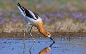 Picture water, bird, beak, American pied Avocet