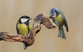 Picture branch, pair, Tits