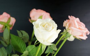Picture flowers, roses, bouquet, pink, white, buds
